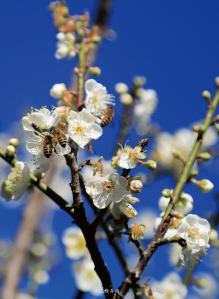 僑協雜誌156期封底裡 三蜂弄梅